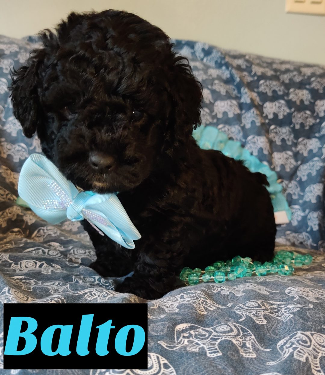 Balto Mini Goldendoodle Pupper For Sale In Saint Cloud Florida