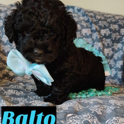 Balto - Mini Goldendoodle pupper for sale in Saint Cloud, Florida