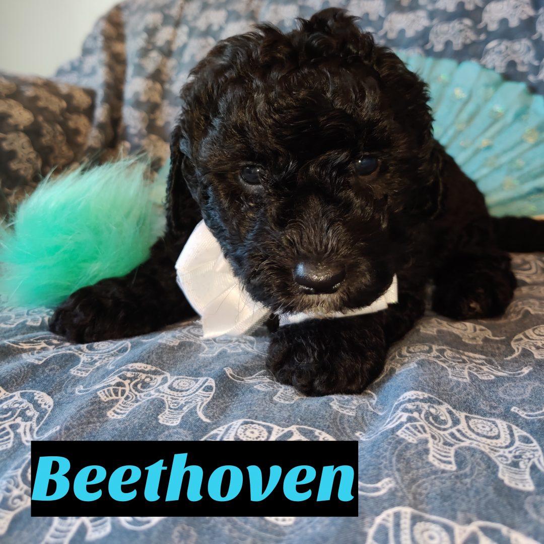 Beethoven Mini Goldendoodle Doggie For Sale Near Saint Cloud Florida