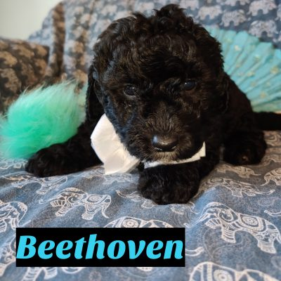 Beethoven - Mini Goldendoodle doggie for sale near Saint Cloud, Florida