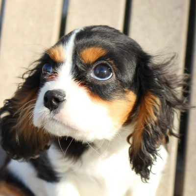 Travis - AKC Cavalier King Charles Spaniel puppy for sale in New Haven, Indiana