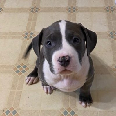 Aspen - female APBR American Bully puppy for sale in Warwick, Rhode Island