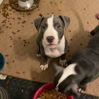Hailey - pupper APBR American Bully for sale at Warwick, Rhode Island