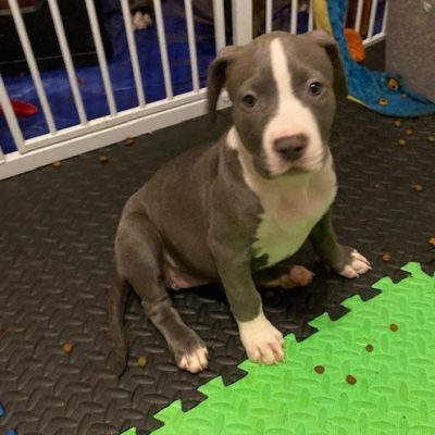 Stella - APBR American Bully doggie for sale near Warwick, Rhode Island