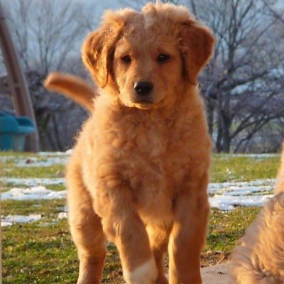 Buster Brown - male Golden Retriever pup for sale at McVeytown, Pennsylvania