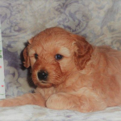 Charlie's Angel - Mini-Goldendoodle doggie for sale at Mcveytown, Pennsylvania