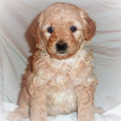 Louise - female Mini-Goldendoodle pupper for sale near Mcveytown, Pennsylvania