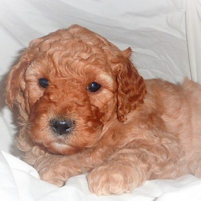 SOLD - Reed - Mini-Goldendoodle puppy for sale in Mcveytown, Pennsylvania