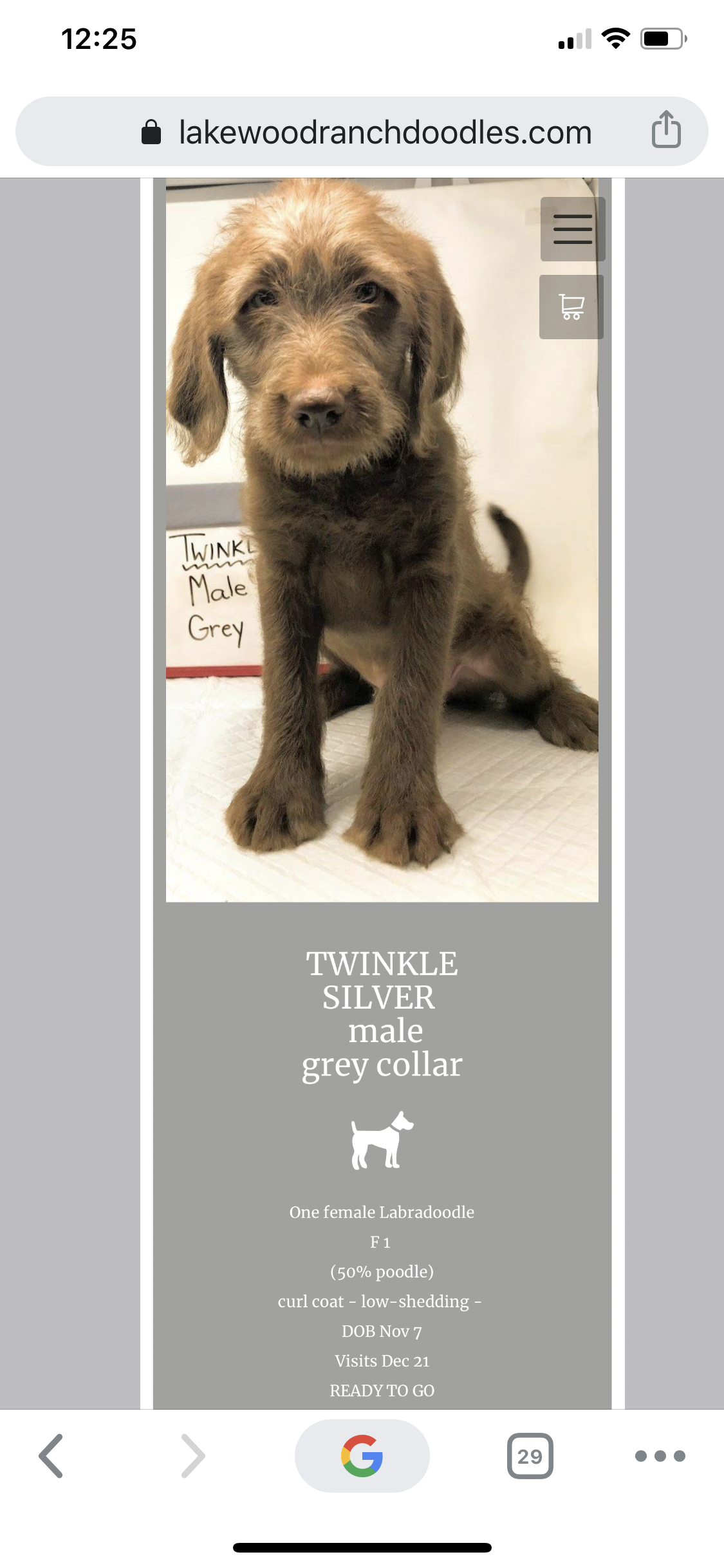 Twinkle grey - male Labradoodle for sale in Lindsay, Ontario