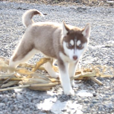 Kennedy - Female Siberian Husky dogs for sale in Grabill, Indiana