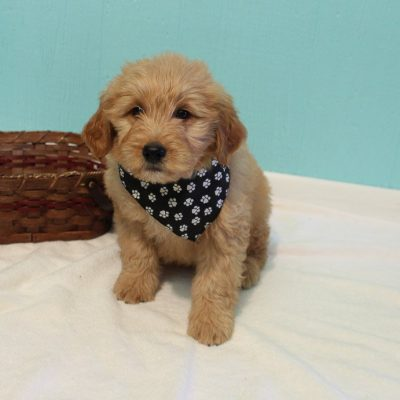 Cole - male Goldendoodle doggie for sale in Shipshewana, Indiana