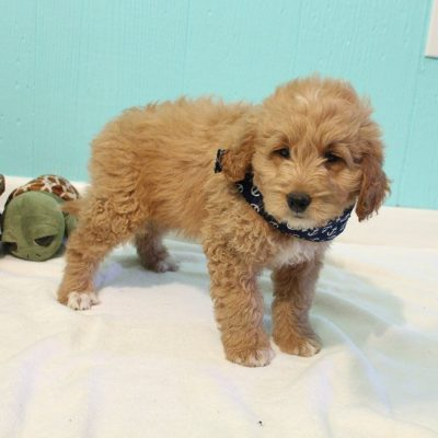 Conrad - male Goldendoodle pupper for sale near Shipshewana, Indiana