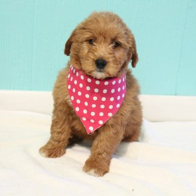 Katy - doggie Goldendoodle for sale at Shipshewana, Indiana