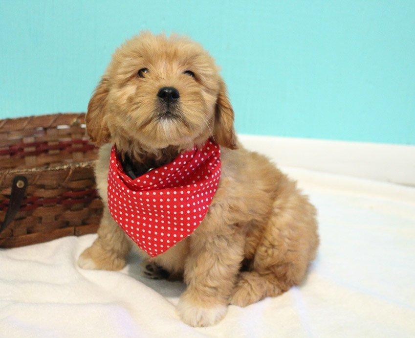 Kyra - Goldendoodle female doggie for sale at Shipshewana, Indiana