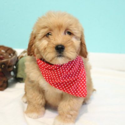 Kyra - Goldendoodle female doggie for sale at Shipshewana, Indiana