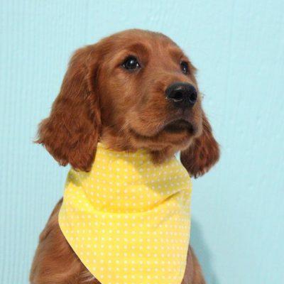Berkley - AKC Irish Setter pupy for sale in Shipshewana, Indiana
