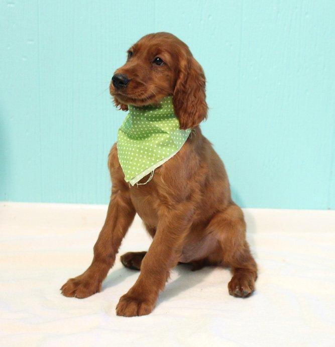 Brenner - male AKC Irish Setter doggie for sale near Shipshewana, Indiana
