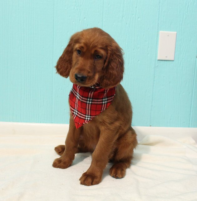 Bradly - AKC Irish Setter male pup for sale in Shipshewana, Indiana