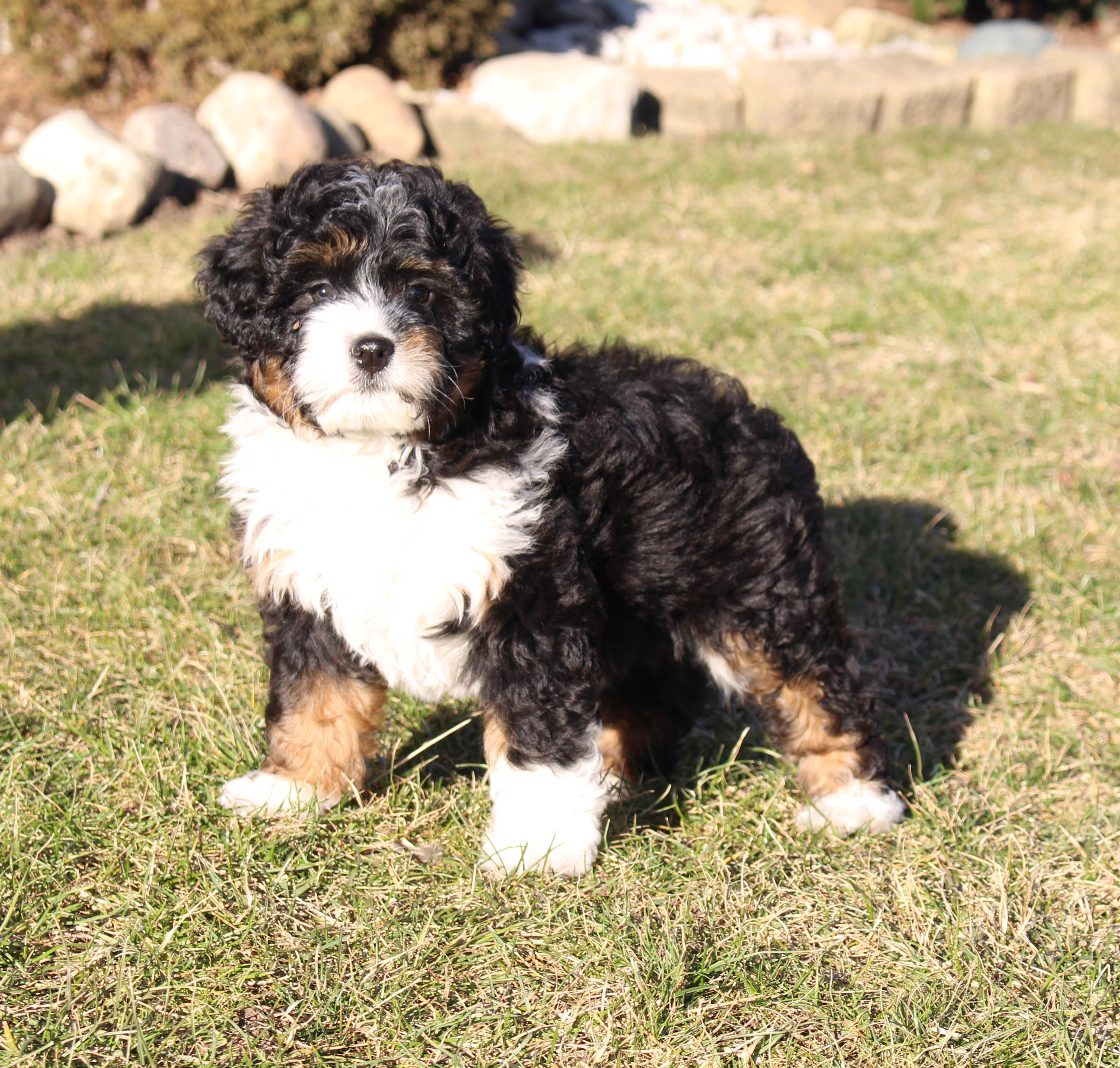 Abbigail Bernedoodle Doggie For Sale In New Haven Indiana Vip Puppies