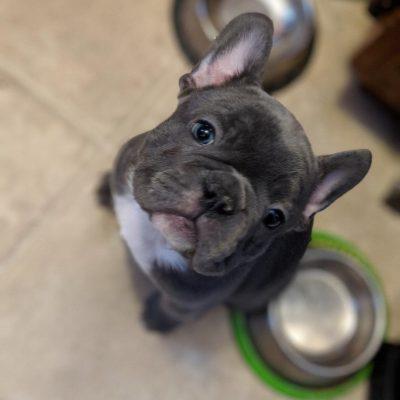 CranBerry - female AKC French Bulldog doggie for sale at Monticello, Minnesota
