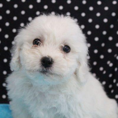 Luka - male AKC Bichon Frise pup for sale near Edon, Ohio