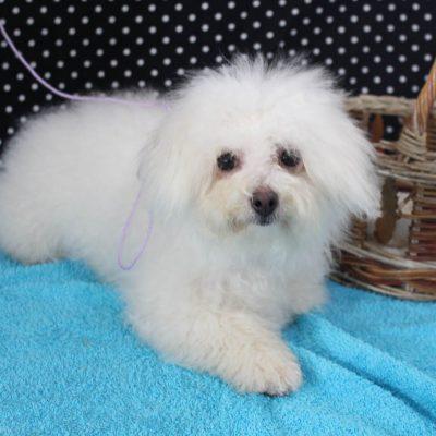 Brittney - Female AKC Bichon Frise puppy for sale in Edon, Ohio