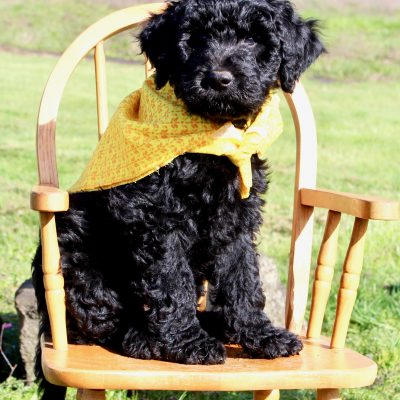 Charlie - Goldendoodle pup for sale near Yoncalla, Oregon