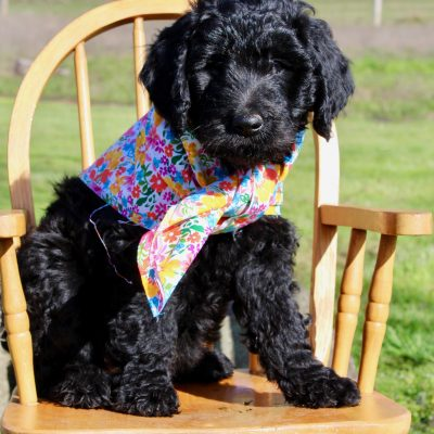 Josie Pye - female Goldendoodle doggie for sale at Yoncalla, Oregon