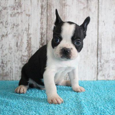 Ferman - Designer Breed Medium pupper for sale at Shipshewana, Indiana