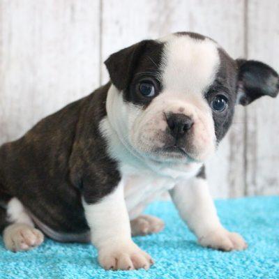 Fulton - doggie Designer Breed Medium for sale at Shipshewana, Indiana