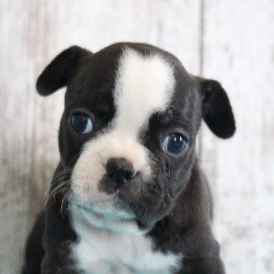 Frayne - female Designer Breed Medium puppie for sale near Shipshewana, Indiana