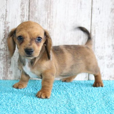 Delma - Female AKC Dachshund pup for sale at Shipshewana, Indiana