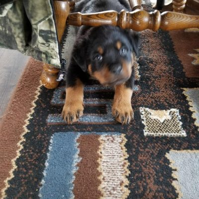 Hercules - AKC Rottweiler doggie for sale at Gresham, Oregon