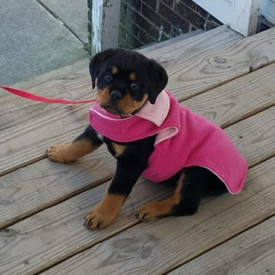 Sweetie - AKC Rottweiler pupper for sale near Gresham, Oregon