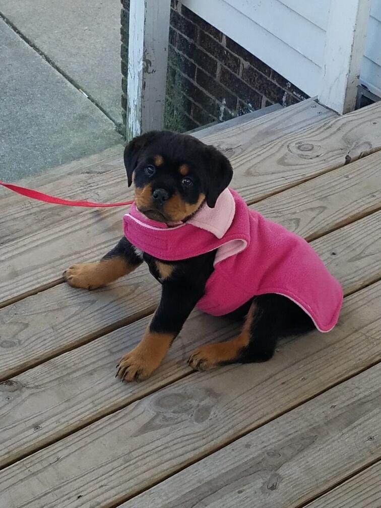 Sweetie - AKC Rottweiler pupper for sale near Gresham, Oregon