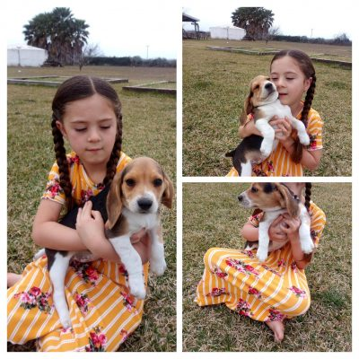 Brandy - AKC Beagle puppy for sale near SW Texas
