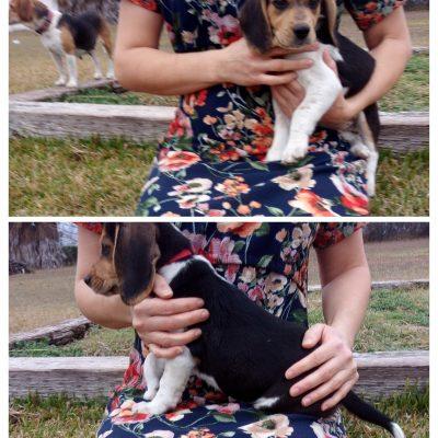 Bexar -AKC Beagle puppy