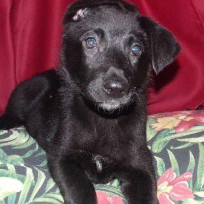 Bertha - female German Shepherd pupper for sale in Cleveland, Ohio