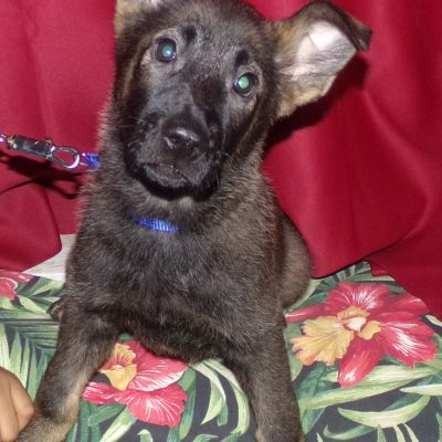 Bella - German Shepherd pup for sale at Cleveland, Ohio