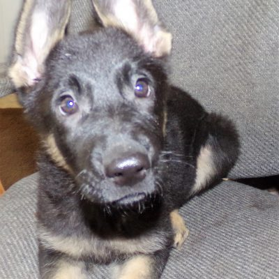 Britney - doggie German Shepherd for sale near Cleveland, Ohio