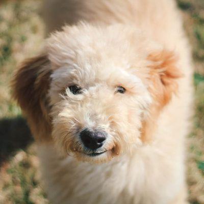 Radar - Medium Goldendoodle Puppy for sale in Carlock, Illinois