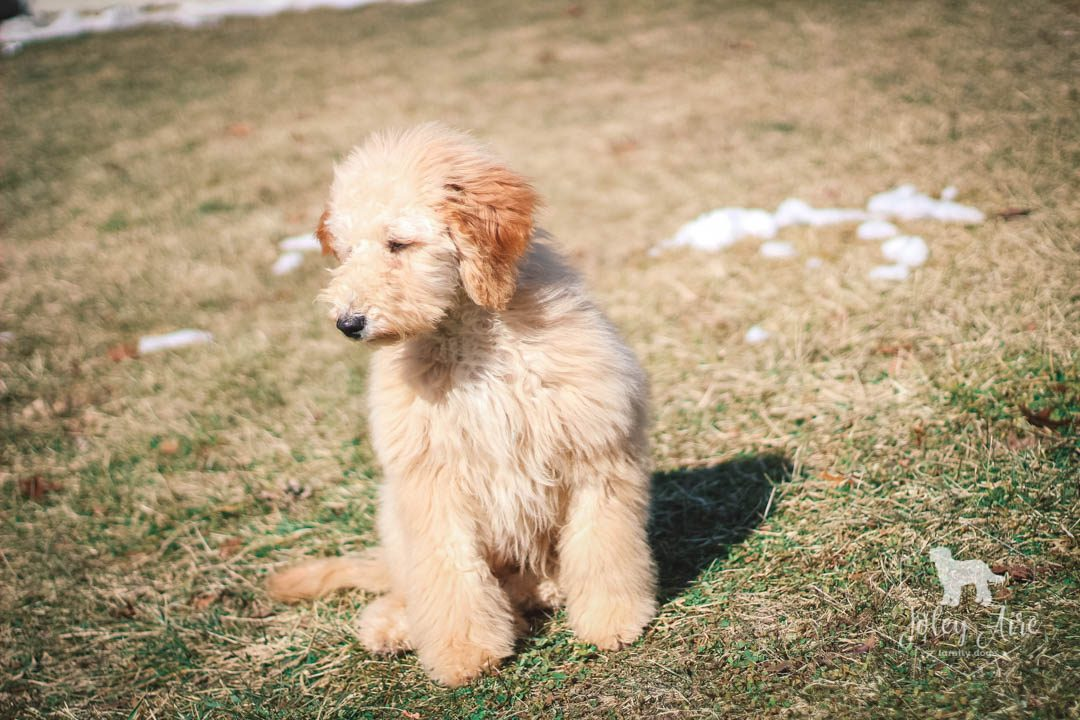 Radar - Medium Goldendoodle Puppy for sale in Carlock, Illinois