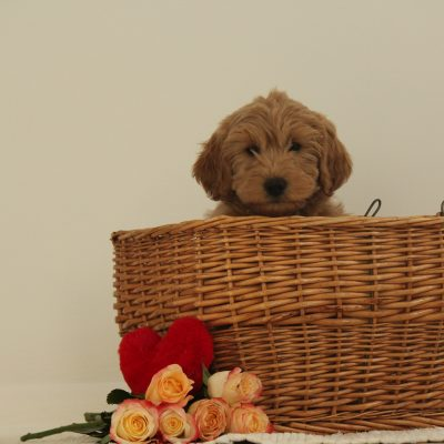Beatrice - female F1b Miniature Goldendoodle pup for sale near Wakarusa, Indiana