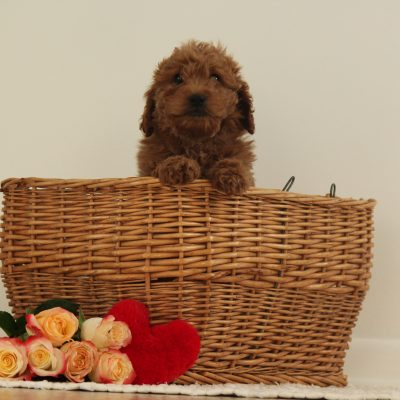 Greta - F1b Miniature Goldendoodle pup for sale at Wakarusa, Indiana