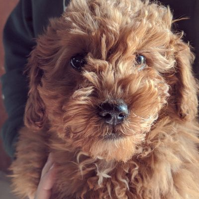 Maxine - puppie F1b Miniature Goldendoodle for sale near Wakarusa, Indiana