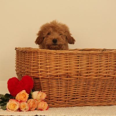 Cecil - F1b Miniature Goldendoodle doggie for sale in Wakarusa, Indiana