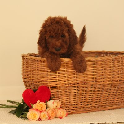 Max - F1b Miniature Goldendoodle puppy for sale at Wakarusa, Indiana