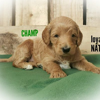 Champ - AKC Standard Poodle pupper for sale at Clare, Michigan