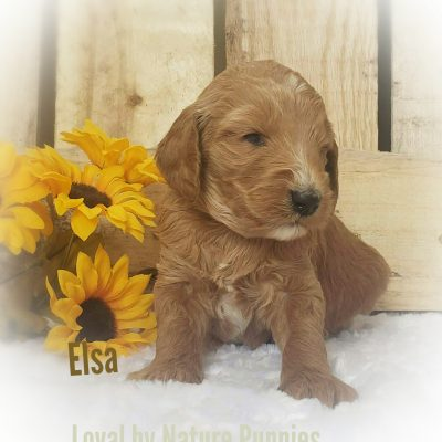 Elsa - AKC Standard poodle doggie for sale at Clare, Michigan