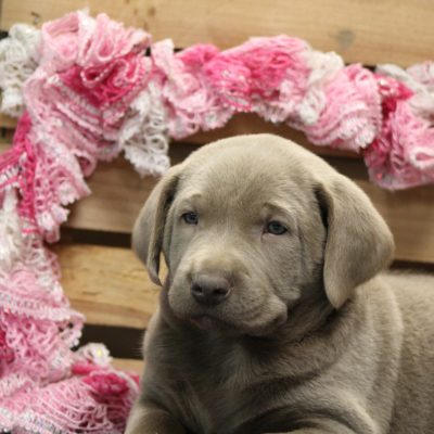 Kole - Labrador Retriever doggie for sale at Goshen, Indiana